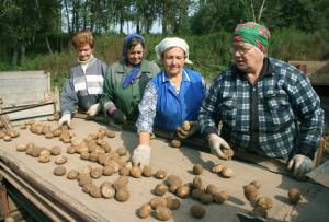 В Леонишено вырастили хороший урожай картофеля