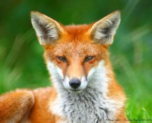 Будет проведена иммунизация диких животных