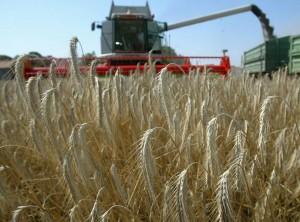 В Верхнедвинском районе намолочено 100 тысяч тонн зерна