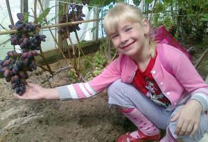 Внучка Катюша помогла дедушке вывести новый сорт винограда.