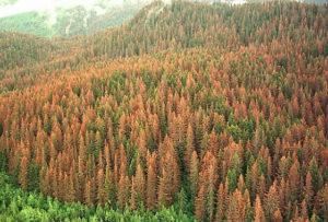 Работники Верхнедвинского лесхоза участвуют в борьбе с короедом