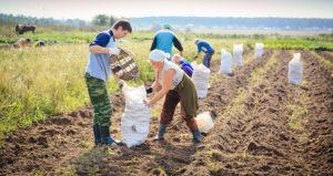Как справляются с уборкой в личных подсобных  хозяйствах