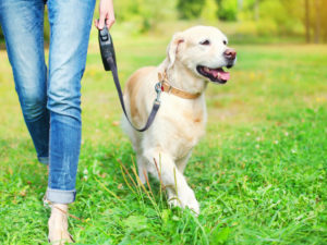 Owner walking with Golden Retriever dog together in park